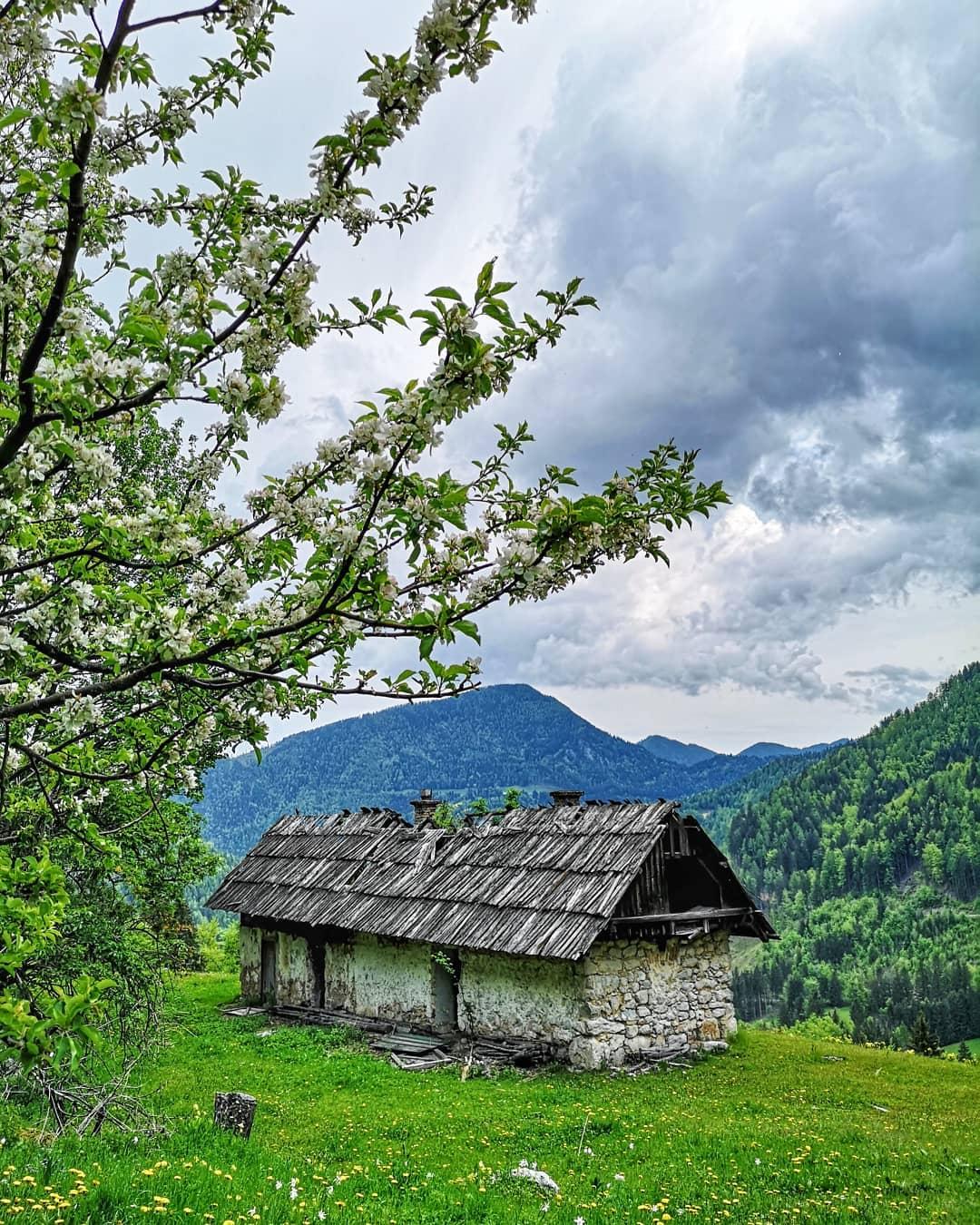 Narzissenwiese im Bärental