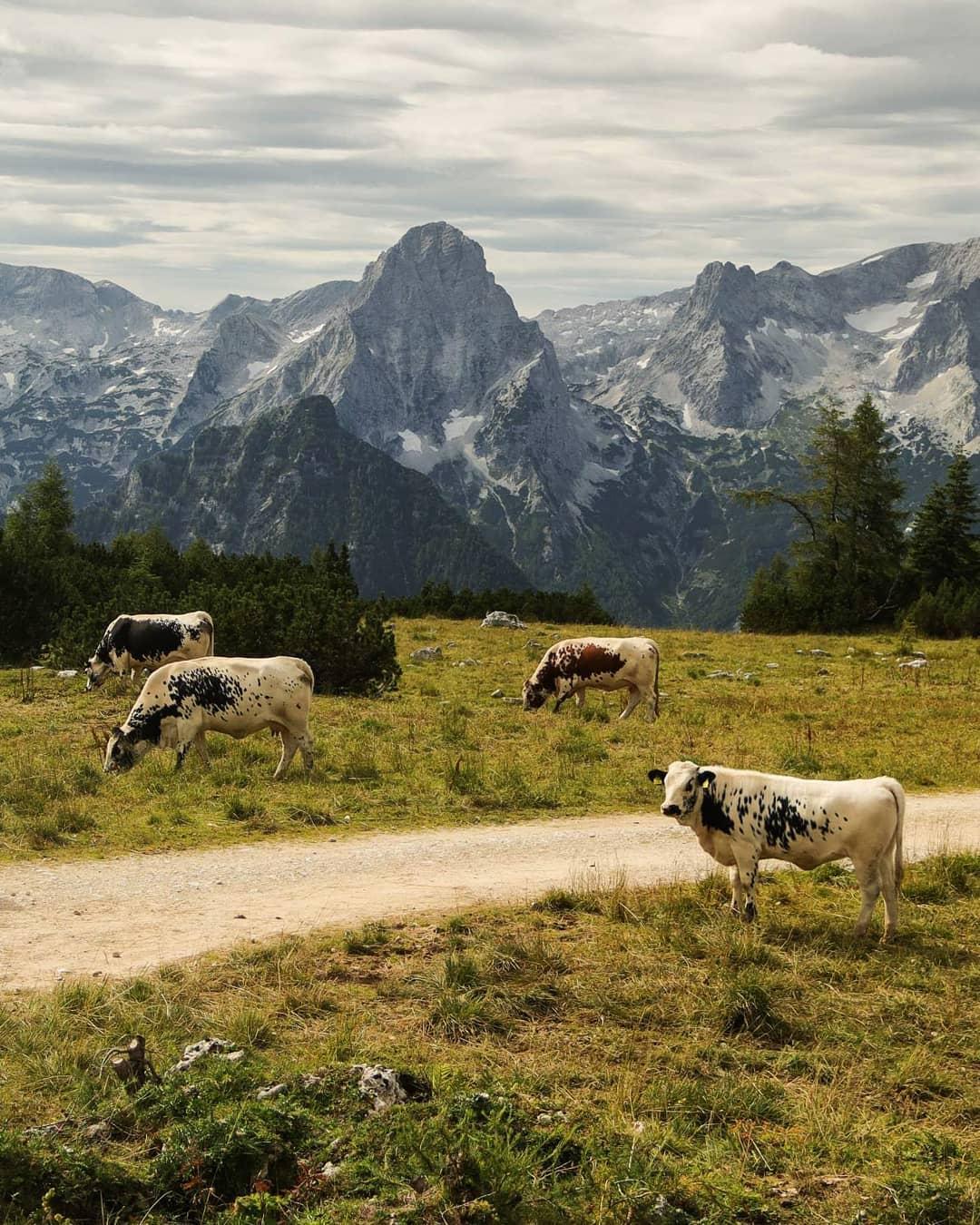 Коровы пасутся в альпийском пейзаже